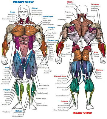 "005 Human System - Body Anatomical Chart Muscular Skeletal 24""x26"" Poster"