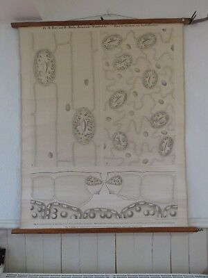Rare Vintage Pull Down School Wall Chart Cells Of The Tulip Leaf Lithograph 1880