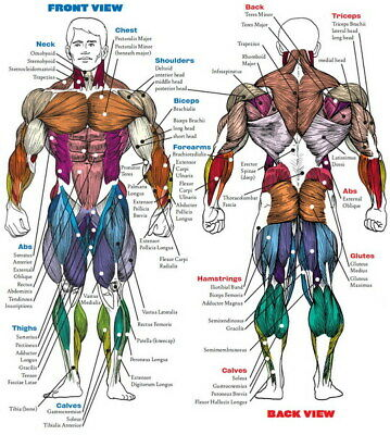 "005 Human System - Body Anatomical Chart Muscular Skeletal 14""x15"" Poster"