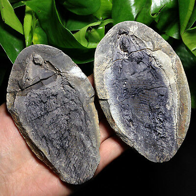 343g Both sides of the fish well preserved Million Year Old fish fossils A33Y04