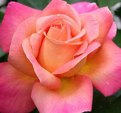 CHICAGO PEACE ROSE Hybrid Tea large double phlox-pink yellow flowers plant