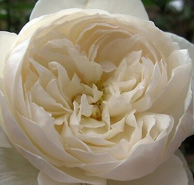 FAIR BIANCA English ROSE Fragrant pretty little pure white cup flowers plant