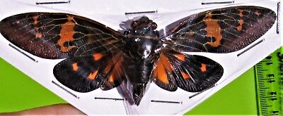 Awesome Mottled Cicada Gaeana laosensis (Red Form) Spread FAST FROM USA
