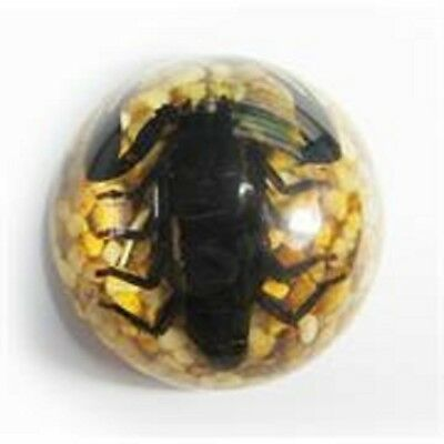 Scorpion paperweight in half dome resin glow in dark the real thing black scary!