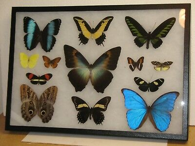 Real framed Butterfly collection #3
