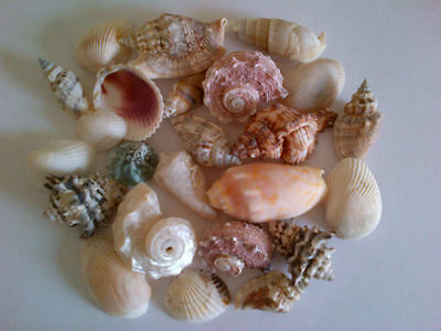 Assorted Mixed Exotic Seashells 250g 500g or 1kg Nautical Sea Shell