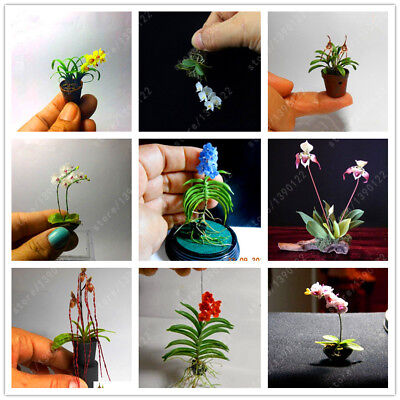 100 Pcs/bag rare Mini Orchid Seeds phalaenopsis orchid Indoor