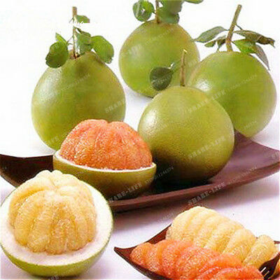 Thai Pomelo Citrus maxima, Pomelo Grape Fruit 30 Seeds From Thailand Rare