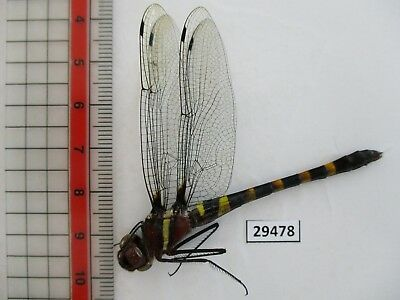 29478.Unmounted insects: Odonata sp..From South Vietnam