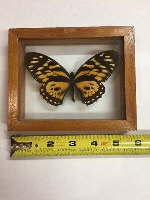 One Real Tiger Butterfly Taxidermy Glass Framed Home Decor