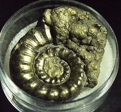 AMMONITE-gold pyritised Eoderoceras obesum,FOS-D23, 92.14ct,33x26x14mm
