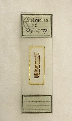 Antique Spiracles Of Didiscus Microscope Slide