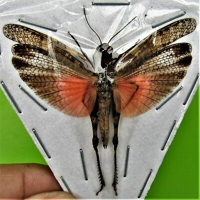Lot of 10 Bleeding Heart Grasshopper Orthoptera sp Spread FAST SHIP FROM USA