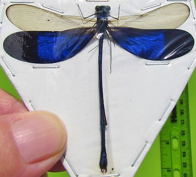Real Electric Blue Wing Damselfly Dragonfly Neurobasis kaupi Male FAST FROM USA