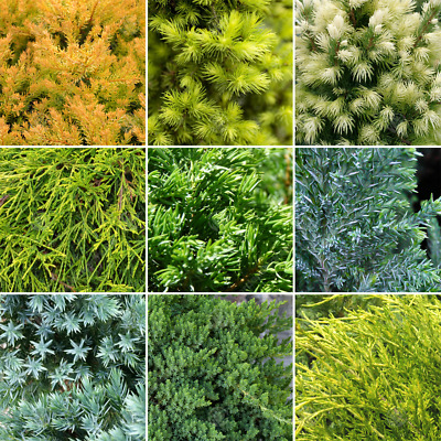 5 x Evergreen Conifer Collection Quality Mixed Ornamental Plants | 9cm Pots