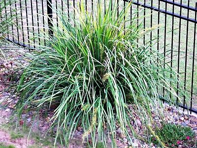 "Lomandra longifolia x 5 single plants/well established thick leaves to 24""~60cmH"