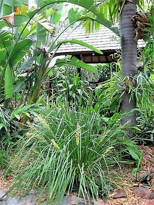 "Lomandra longifolia~10 single well established plants approx 12""-30cm in height"