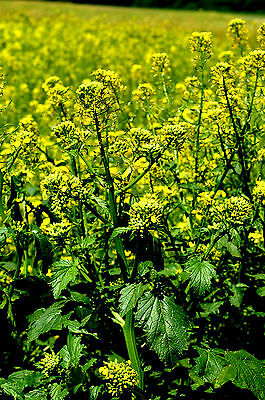 250 / 1000 Seeds Mustard White / Removes Bad Grass / Flowers Yellow