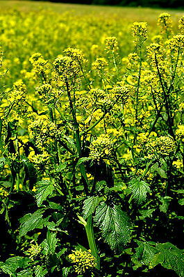 250 / 1500 Seeds Mustard White Removes Bad Grass Flowers Yellow
