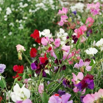 12/72 Seeds Peas Scent Sweetheart Mixed/ Lathyrus Northern /Dwarf
