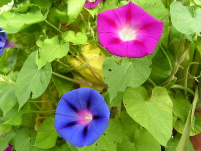 20/120 Seeds Moonflower Ipomoea Nile Early Call Mixed / Morning Glory Climbing