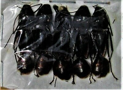 Lot of 15 Malaysian Soldier Ants Camponotus gigas FAST SHIP FROM USA