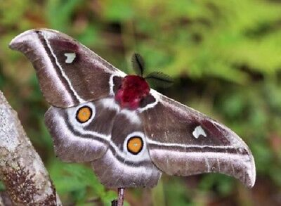 Uncommon Madagascar or Emperor Moth Antherina suraka Folded FAST FROM USA