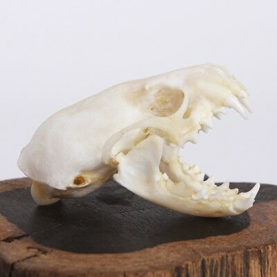 Natural Skull Bone Ferret Animal Specimen offers the art of Bone Veterinary 1: 1