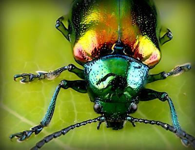 JEWEL METALLIC WOOD BORING BEETLE GLOSSY POSTER PICTURE PHOTO PRINT insect 4434