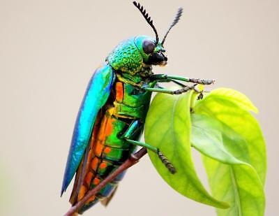 JEWEL METALLIC WOOD BORING BEETLE GLOSSY POSTER PICTURE PHOTO PRINT insect 4435
