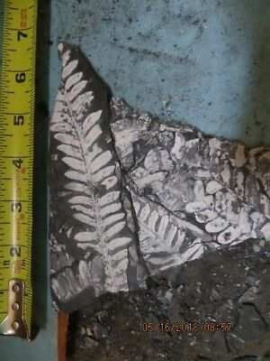 Beautiful 3 Species Fern Fossil on Black Shale, Pennsylvanian Period  300 MY Old