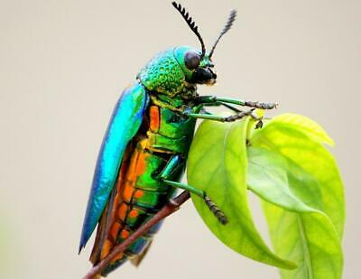 JEWEL METALLIC WOOD BORING BEETLE GLOSSY POSTER PICTURE PHOTO BANNER insect 4435