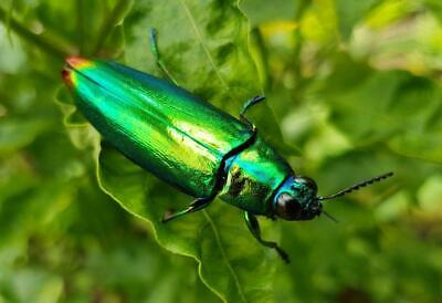 JEWEL METALLIC WOOD BORING BEETLE GLOSSY POSTER PICTURE PHOTO BANNER insect 4436