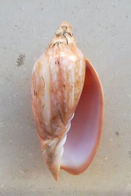 SHELL CONCHIGLIA CYMBIOLA INNEXA mm.117,9 PHILIPPINES
