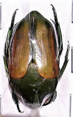 Lot of 10 Jewel Beetle Wood Boring Megaphonia adolphinae FAST FROM USA