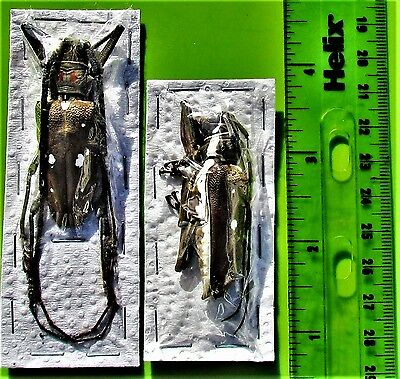 """Asian Long-horn Beetle Batocera rubus immaculipennis Pair 2 """" FAST FROM USA"""