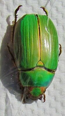 Very Rare Mexican Beetle Plusiotis or Chrysina lacordairei FAST FROM USA