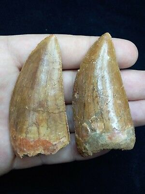 T317-Great Collection of 2 Carcharodontosaurus Dinosaur Teeth Cretaceous KemKem