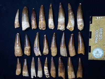 T511 - Top Collection of 25 Great Spinosaurus Dinosaur Teeth Cretaceous KemKem