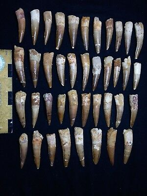 T512 - Top Collection of 40 Great Spinosaurus Dinosaur Teeth Cretaceous KemKem