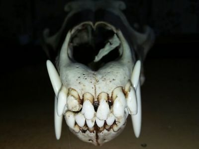 Real  Lupus campestris Scull taxidermy