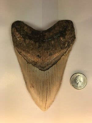 Amazing 5.51 Inch Fossilized Megalodon Shark Tooth Teeth Natural No Repair. M7