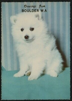 e1396)     GREETINGS FROM BOULDER WESTERN AUSTRALIA POSTCARD - CUTE WHITE PUPPY
