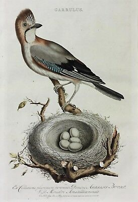 Christian Sepp /c.nozeman Rare Antique Engraving & Watercolour Garrulus Bird