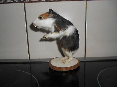 Taxidermy  Art Guinea pig real animal on wood base Home ware  Weird Stuff