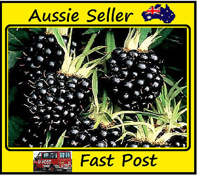 Blackberry Seeds Thornless Jumbo Blackberies Juicy Sweet Healthy 200 Seed Lots