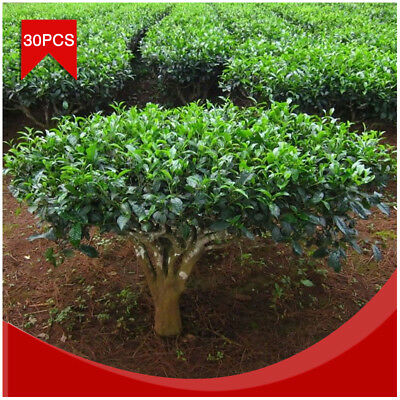 30Pcs/Pack Green Tea Seeds Camellia Sinensis Seed For Plant Tea Tree Fresh Seeds