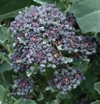PURPLE SPROUTING BROCCOLI Brassica oleracea vegetable plant in 100mm pot