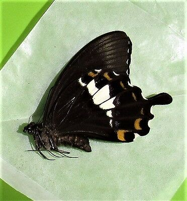 Stunning Swallowtail Butterfly Papilio albinus Male Folded FAST FROM USA