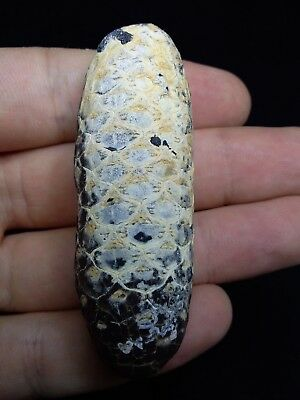 000714 - Top Rare Fossilized Silicified Pine Cone EQUICALASTROBUS Eocene Sahara
